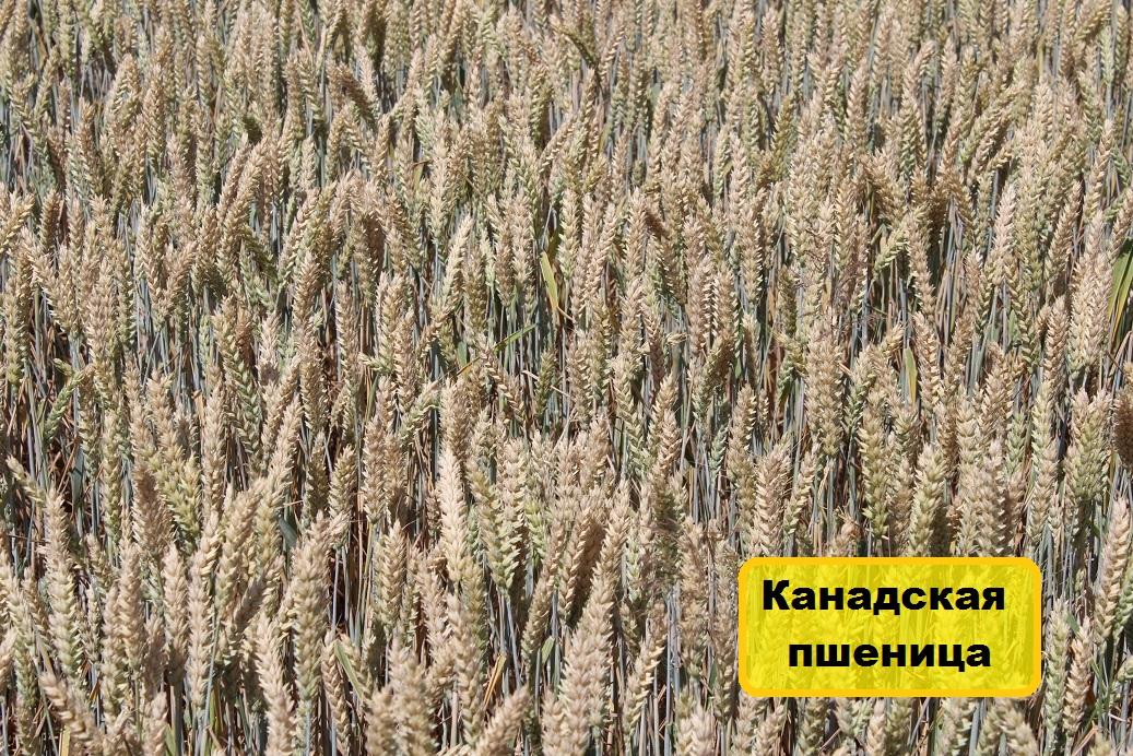 канадская пшеница, семена канадской пшеницы, канадская пшеница купить
